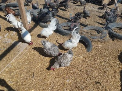 Laying hens and Roosters
