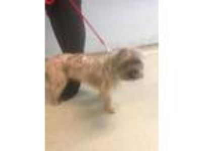 Adopt Tickles a Yorkshire Terrier, Mixed Breed