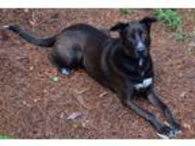 Adopt milo a Brown/Chocolate - with White Greyhound / German Shepherd Dog /