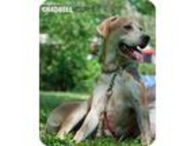 Adopt Jolie a Tan/Yellow/Fawn Black Mouth Cur / Labrador Retriever / Mixed dog