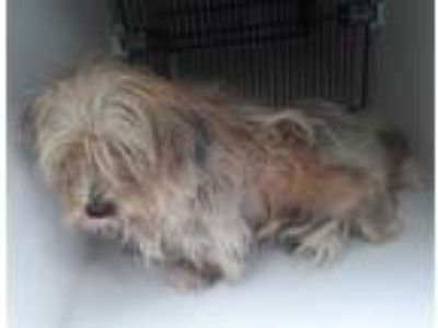 Adopt a Brown/Chocolate - with Black Norfolk Terrier / Mixed dog in Houston