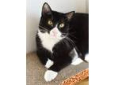 Adopt BOOMER a Domestic Short Hair
