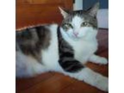 Adopt Alicia a Tiger Striped Domestic Shorthair (short coat) cat in Staten