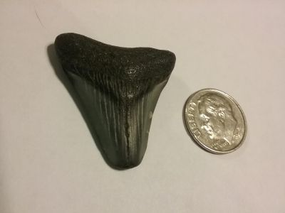 Sharks tooth