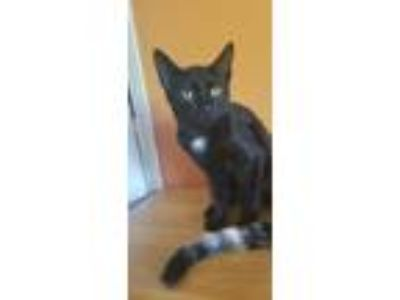 Adopt Frodo POM (TN) a Black (Mostly) American Bobtail (short coat) cat in