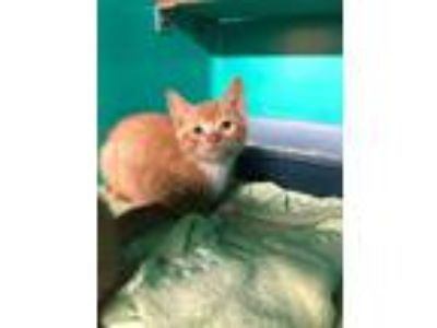 Adopt Sausage a Domestic Short Hair, Tiger