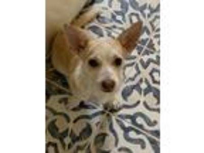 Adopt Wendy a Tricolor (Tan/Brown & Black & White) Corgi dog in Los Angeles
