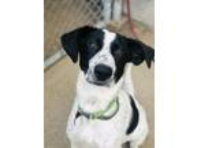 Adopt Cisco Puppy a Black - with White Border Collie / Mixed dog in Cuyahoga