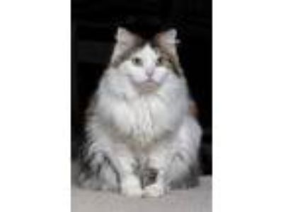 Adopt Romy a White Norwegian Forest Cat / Domestic Longhair / Mixed cat in