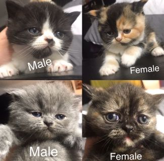 Persian-Dollface Mix Kittens