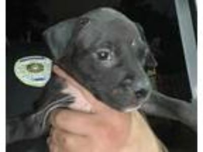 Adopt PUPPY 3 a Black American Staffordshire Terrier / Mixed dog in San Antonio