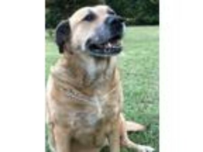 Adopt Dixie a Tan/Yellow/Fawn - with White Labrador Retriever / Boxer / Mixed