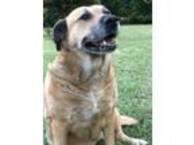 Adopt Dixie a Tan/Yellow/Fawn - with White Labrador Retriever / Boxer / Mixed