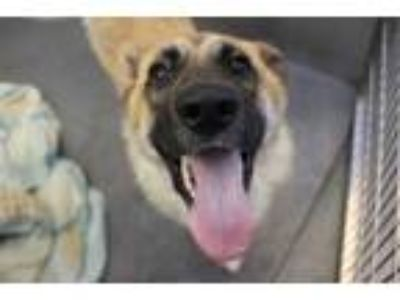 Adopt FERGIE a Tan/Yellow/Fawn - with Black German Shepherd Dog / Mixed dog in
