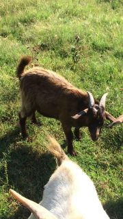 Nice billy goat , 5 months old.