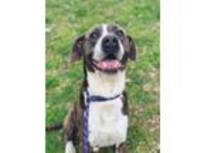 Adopt Weaver a Mastiff / Pit Bull Terrier / Mixed dog in Barrington