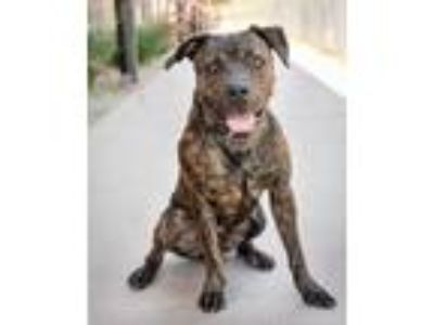 Adopt Bullet a Brindle American Staffordshire Terrier / Mixed dog in Palm
