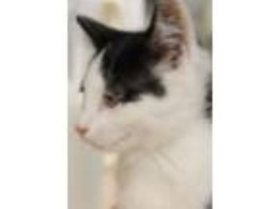Adopt Krissy a Domestic Short Hair