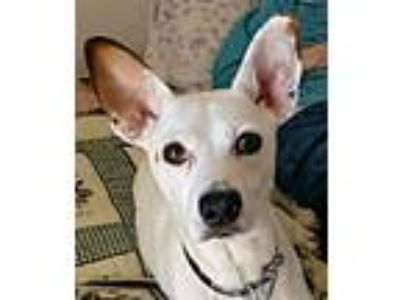 Adopt Dozer a White Terrier (Unknown Type, Medium) / Mixed dog in Manchester