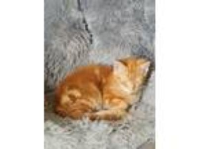"Adopt "" Tom "" a Orange or Red Tabby Domestic Shorthair (short coat) cat in"