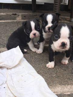 AKC reg Boston Terrier puppies
