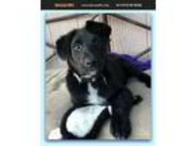 Adopt Porthos a Australian Shepherd / Border Collie / Mixed dog in Cave Creek