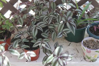 Beautiful Wandering Jew Zebrina 3 tone Large