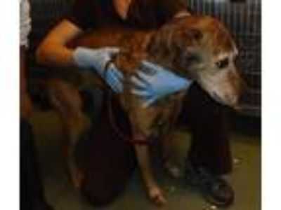 Adopt Cinnamon a Greyhound / Shepherd (Unknown Type) / Mixed dog in Raleigh