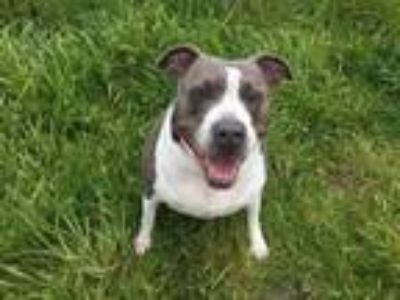 Adopt ROXIE a Pit Bull Terrier, Mixed Breed
