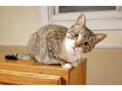 Adopt Moss a Brown Tabby Domestic Shorthair / Mixed (short coat) cat in East