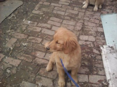 golden retriever farm raised puppies