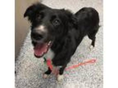 Adopt Nala a Black Australian Shepherd / Border Collie dog in Great Falls