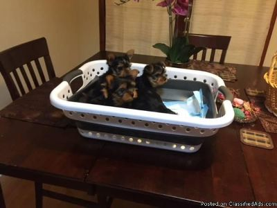 Yorkshire Terrier (Yorkie ) Puppies