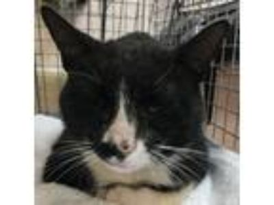Adopt Simon-81719 a Domestic Short Hair