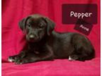 Adopt Pepper Anne a Labrador Retriever, Shepherd
