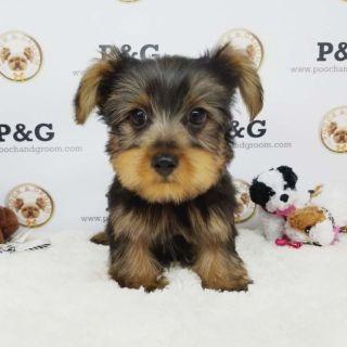 Yorkshire Terrier PUPPY FOR SALE ADN-97001 - YORKSHIRE TERRIER KOBE MALE