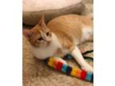 Adopt Candy (and Tank) Castleton a Domestic Short Hair