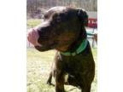 Adopt Blaze a Brown/Chocolate American Pit Bull Terrier / Mixed dog in
