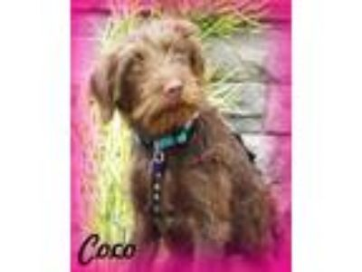 Adopt Coco a Brown/Chocolate - with White Labrador Retriever / Poodle