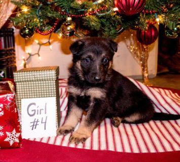German Shepherd Dog PUPPY FOR SALE ADN-106986 - AKC German Shepherd Puppy
