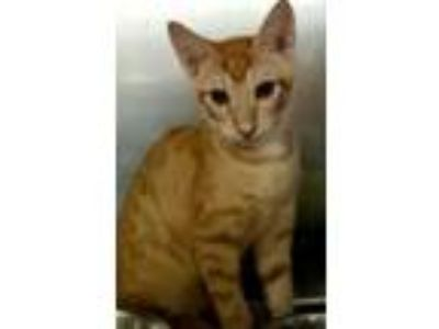 Adopt Hank a Orange or Red Domestic Shorthair / Domestic Shorthair / Mixed cat