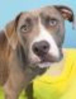 Onyx Pit Bull Terrier Dog
