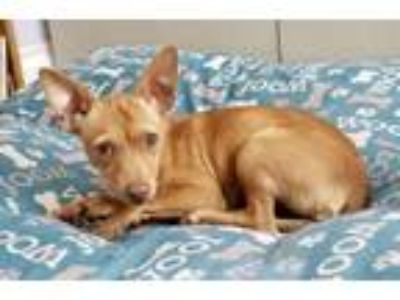 Adopt Ginger - Chino Hills a Red/Golden/Orange/Chestnut Miniature Pinscher /