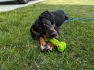 Adopt Henry a Tricolor (Tan/Brown & Black & White) Rottweiler / Hound (Unknown