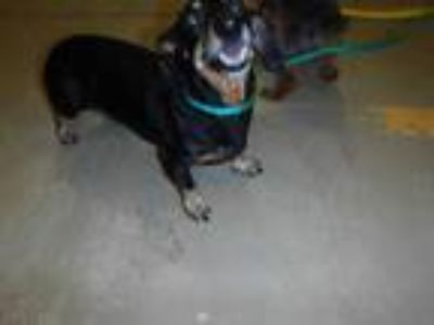 Adopt KENDRA a Black - with Tan, Yellow or Fawn Dachshund / Mixed dog in