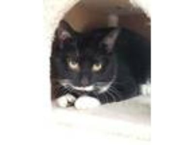 Adopt Parson a All Black Domestic Shorthair / Domestic Shorthair / Mixed cat in