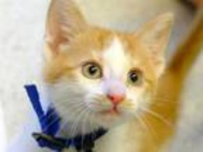 Adopt SUGAR a Orange or Red Tabby Domestic Shorthair / Mixed (short coat) cat in