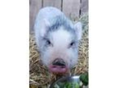 Adopt Amy Swinehouse a Pig (Farm) farm-type animal in Birdsboro, PA (25210037)