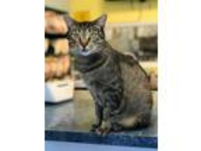 Adopt Jinx a Domestic Short Hair
