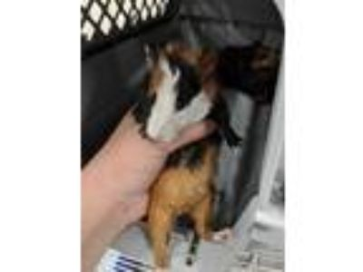 Adopt PINTA a Black Guinea Pig / Mixed small animal in Fruit Heights